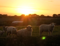 Glowing sheep