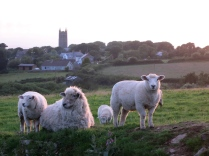 Sheep with Crowan Church beyond