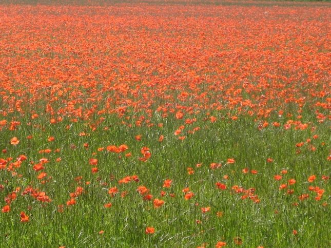Poppy field June 2010