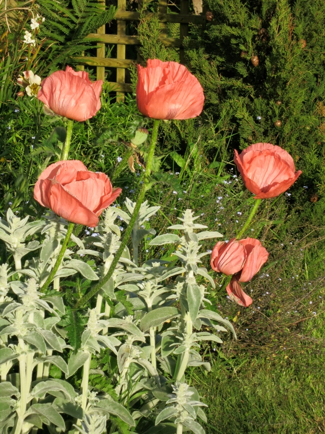 Poppies in the evening sunlight