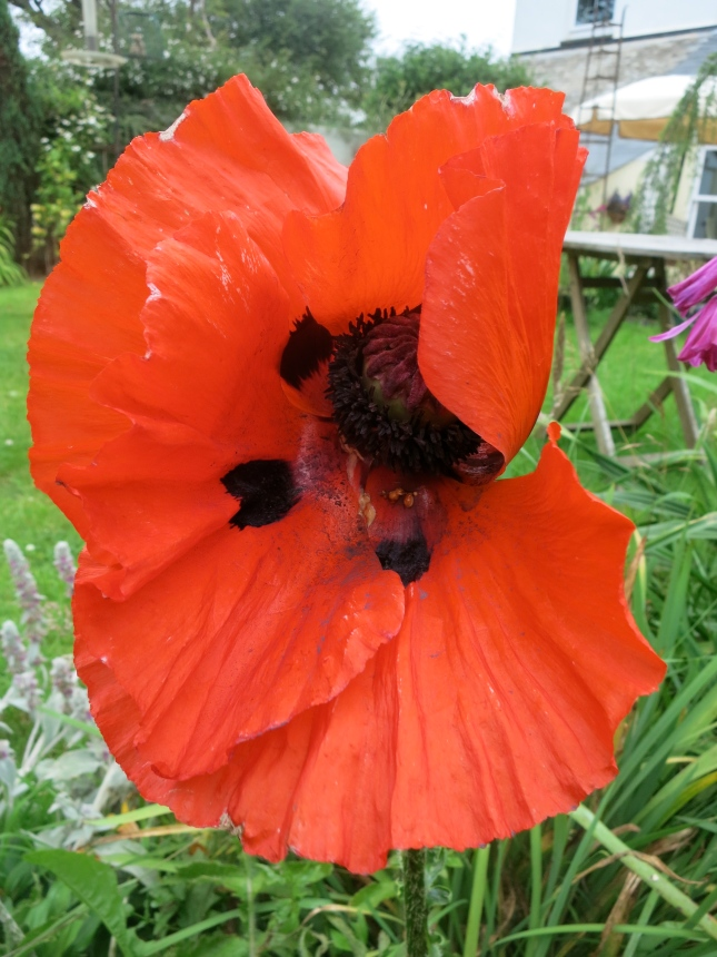 Another poppy