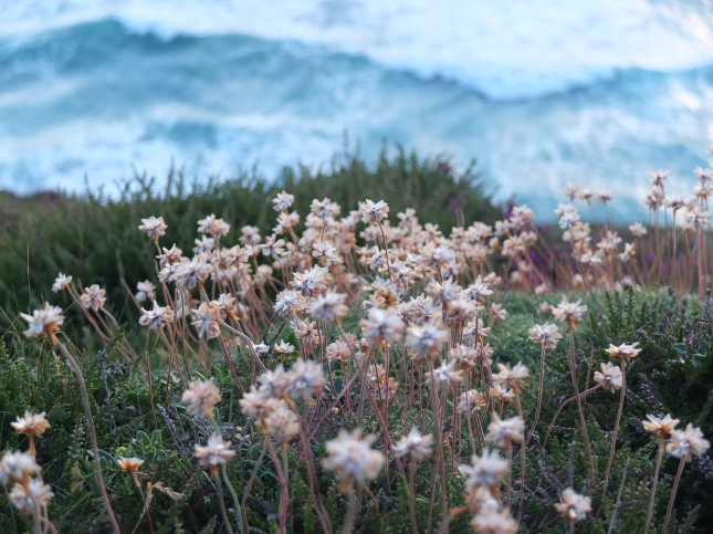 Thrift seed heads on the cliff top