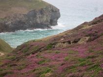 Heather on the cliffs