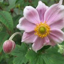 First of the Japanese Anemones