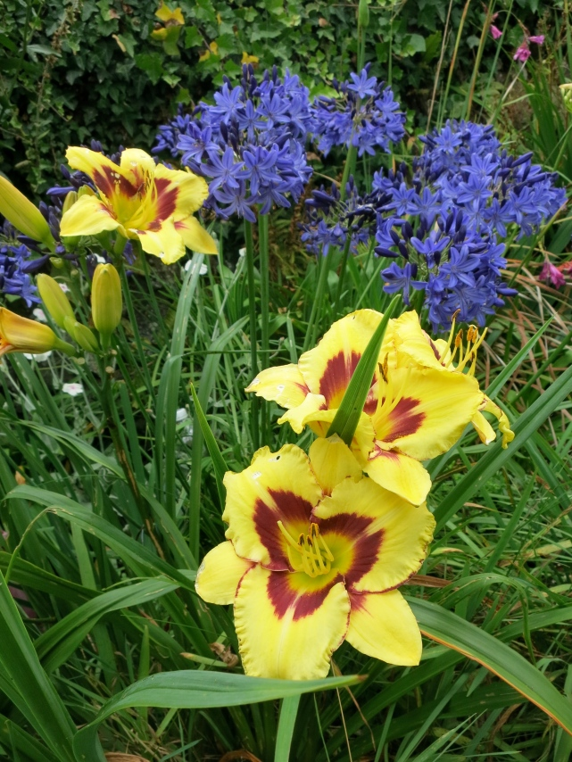 Agapanthus and Day Lilies