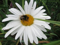 Marguerite and bee