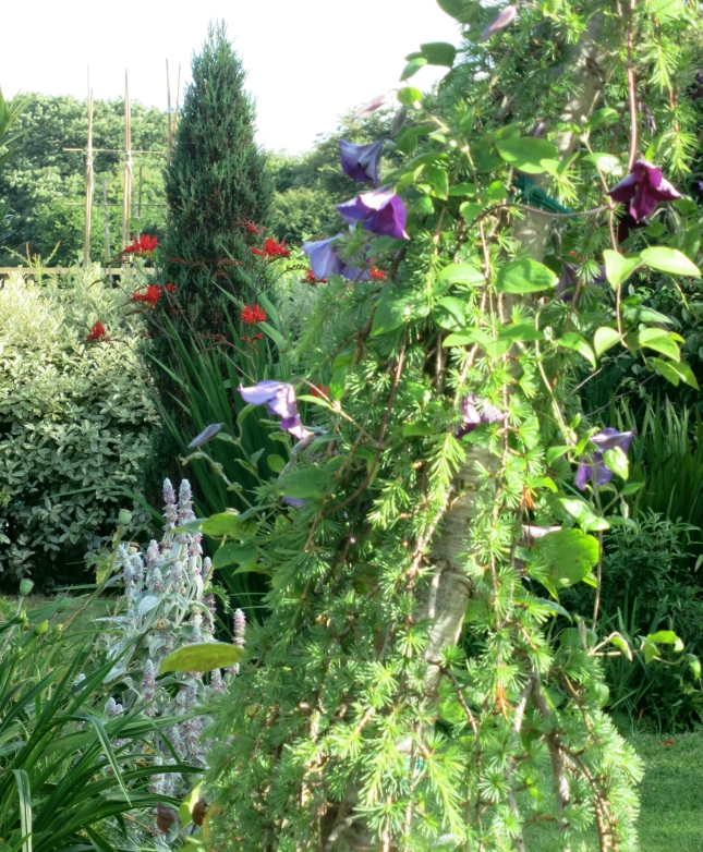 Clematis growing up the Larch and Crocosmia Lucifer behind