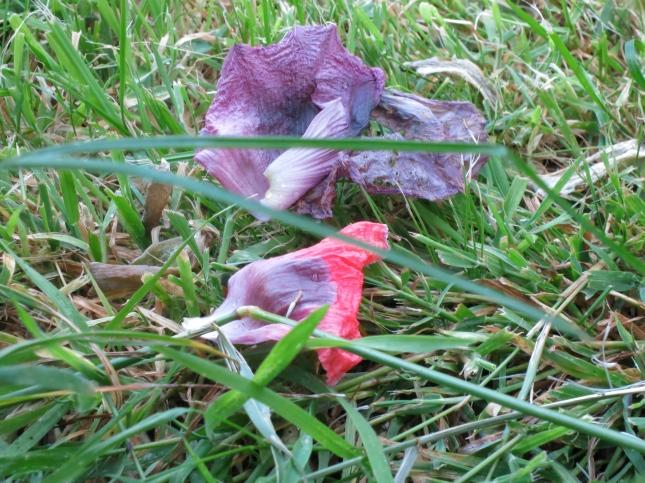 Fallen poppy petals