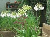 White Agapanthus in the vegetable garden