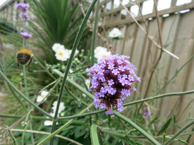 Bee in my Suffragette garden