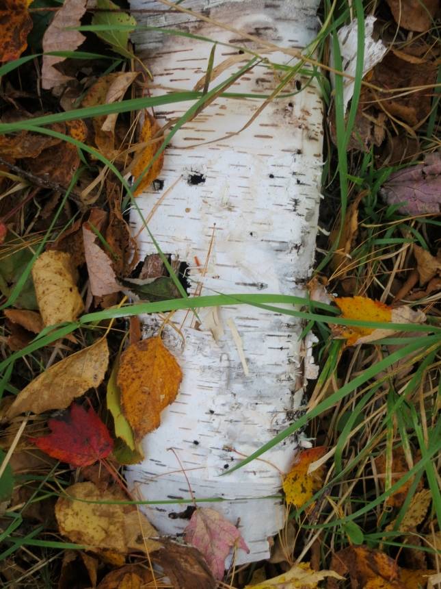 Frayed Silver Birch trunk
