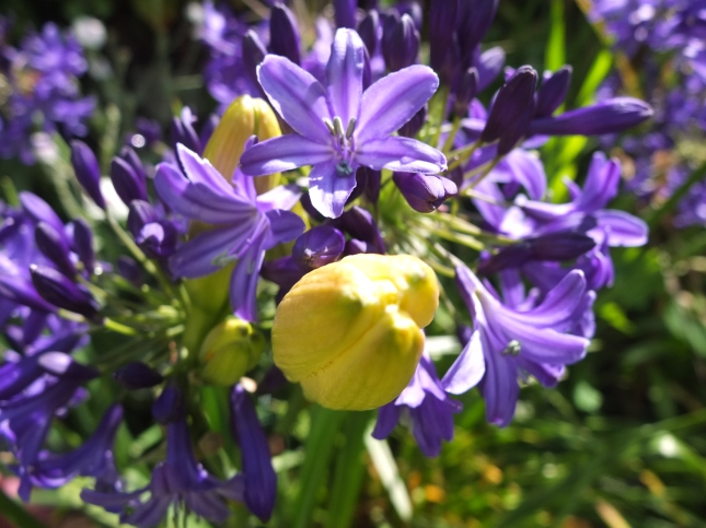 Agapanthus and Day Lily