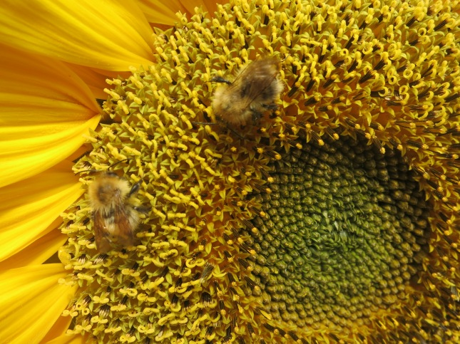 Bees in the sunflower