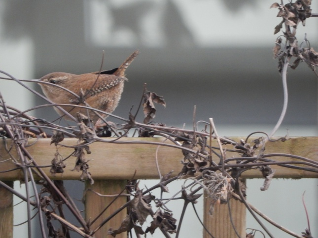 Wren on the fence