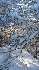 snow laden boughs