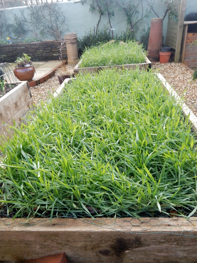 Over wintered green manure in the vegetable boxes