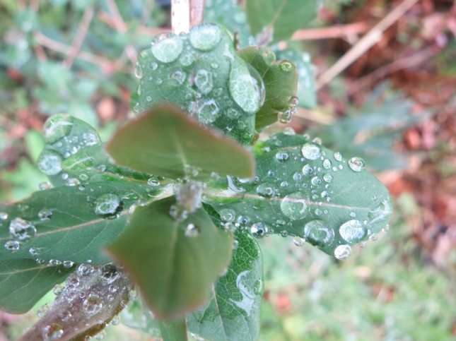 raindrops on new honeysuckle leaves