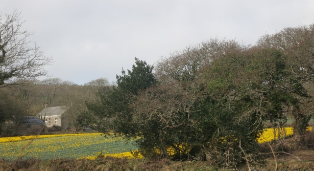 One of the daffodil fields near Comford