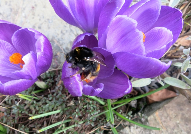 Bee on purple crocus