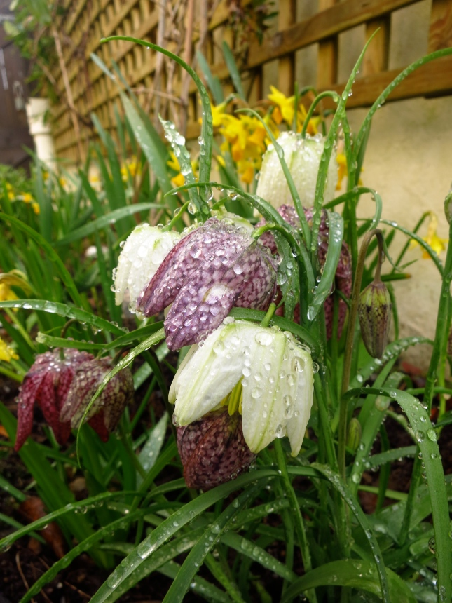 Droplets on the Fritillaria