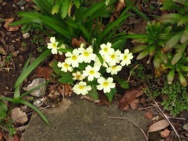Primroses in our garden