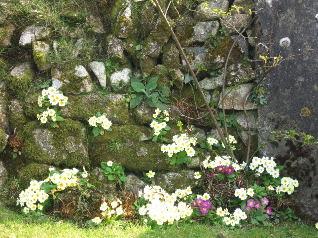 Primroses in the hedge