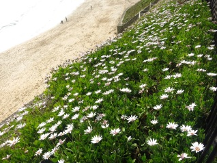 Osteospermum lining the cliff to the beach