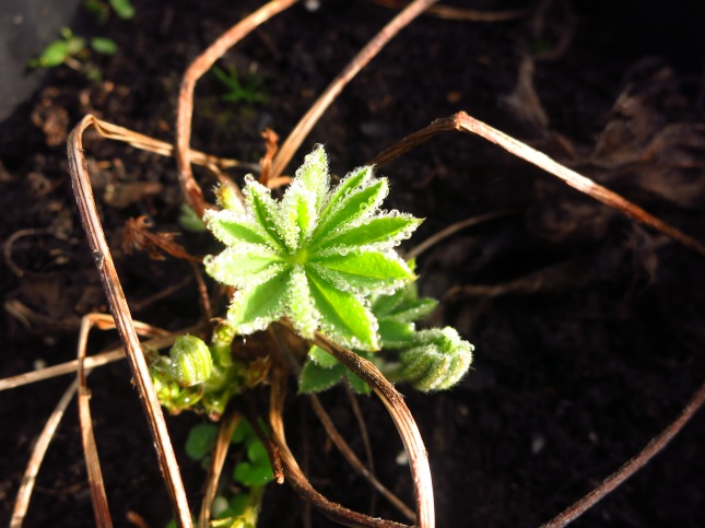 New baby Lupin leaf