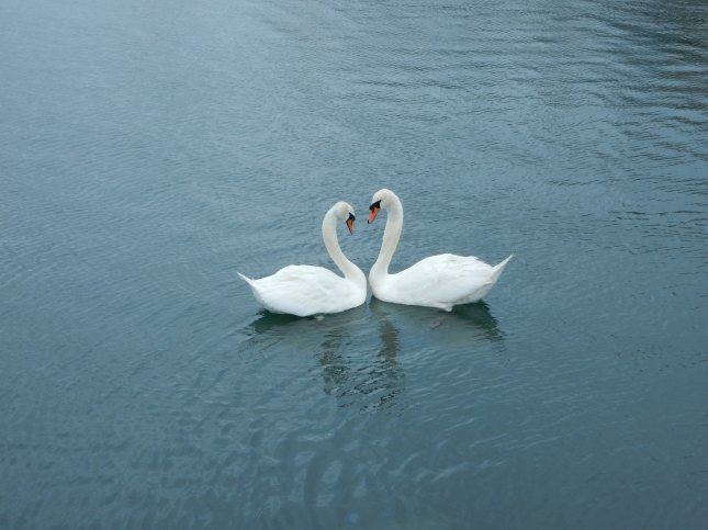 Two swans making a heart shape