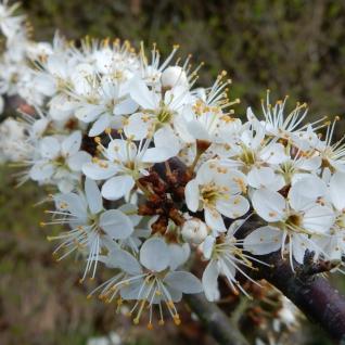Beautiful May blossom
