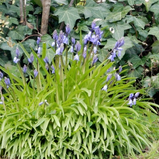First Bluebells of the season