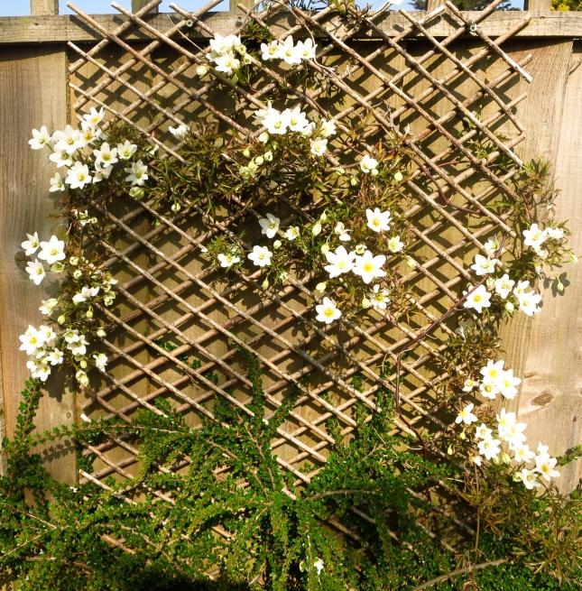 Clematis flowering in the front garden