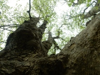 Looking up into the Tulip Tree