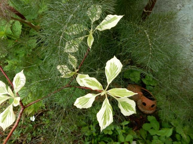 Cornus Controverta variegata