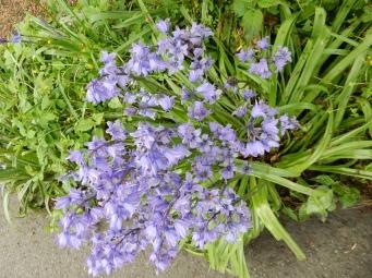 Bluebells in St Austell