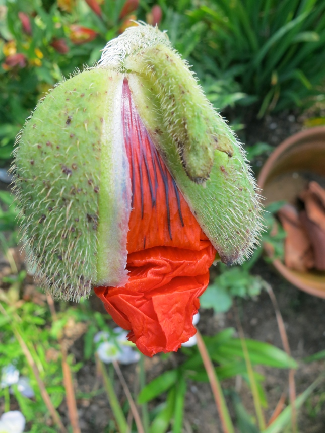 Poppy petals bursting out of their sepal