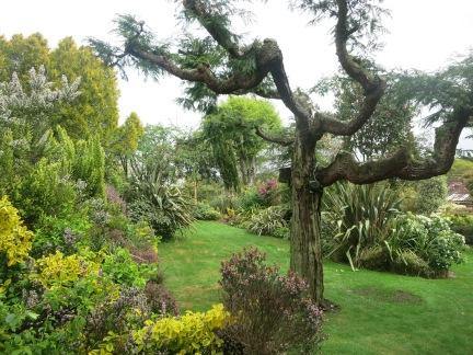 Very old Monterey Pine