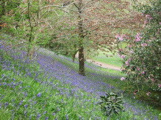 Another bank of Bluebells