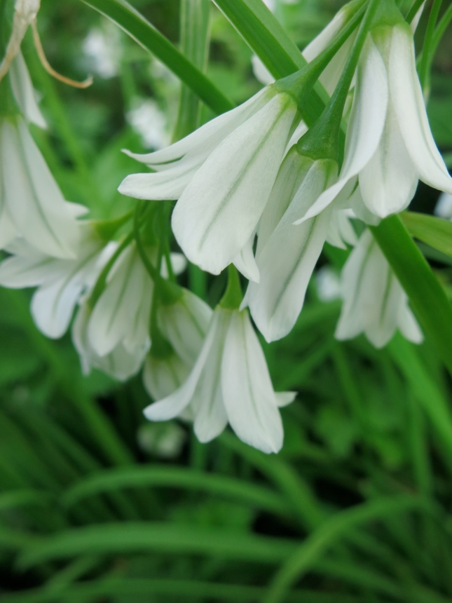 Three Cornered Leek