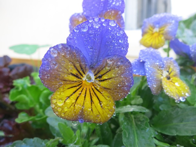 Droplets on a pansy