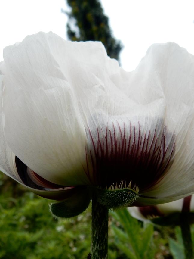 Poppy from underneath