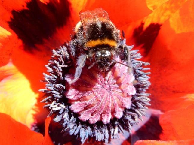 Bee on a poppy
