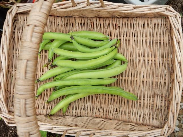 First crop in Mum's trug