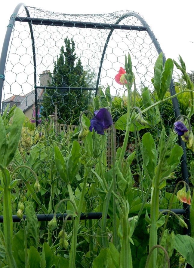 First Sweet peas going up the arch