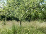Gyllyflower apple tree