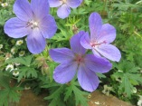Violet in the Geranium