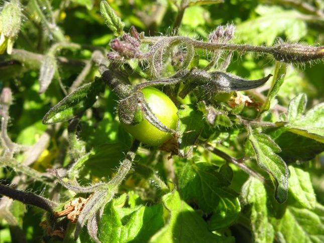 Tiny Tumbling Red Tomatoess