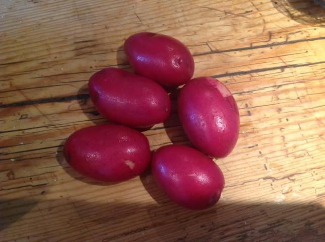 Stacey's  beautiful potatoes just out of the veg patch!