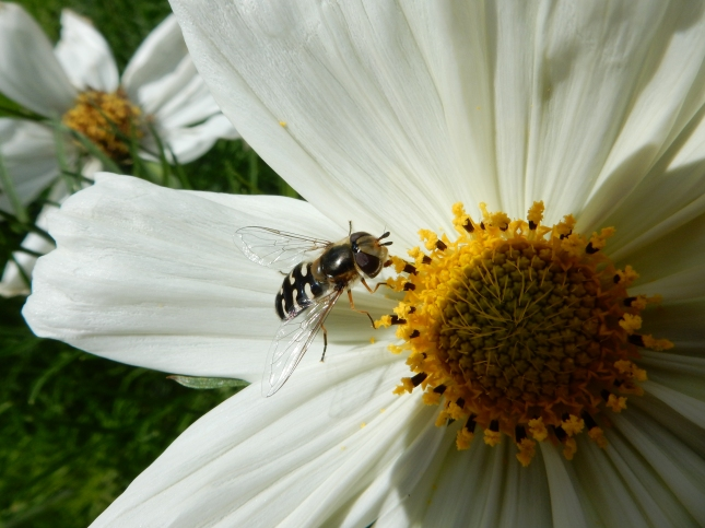 Bee on a White Cosmos flower