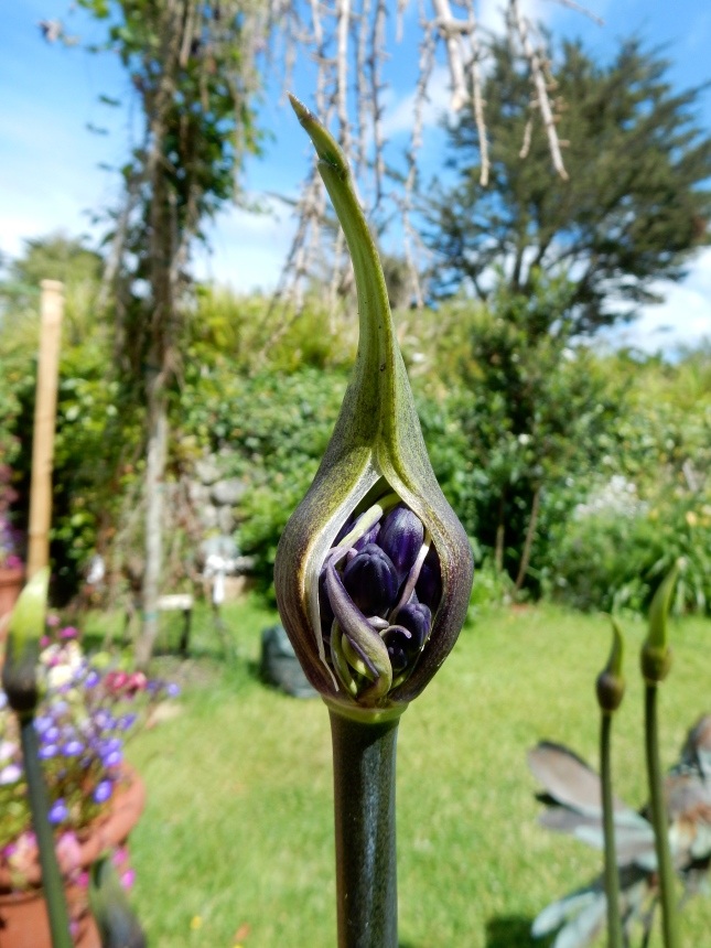 Agapanthus about to open